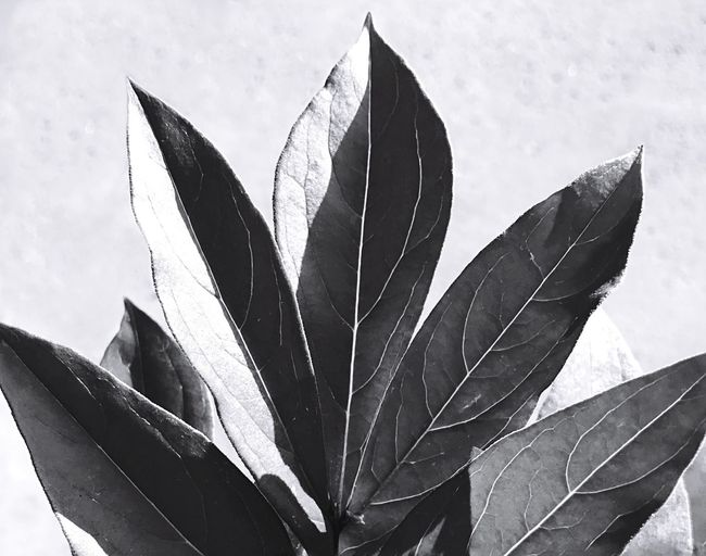 Leaf Nature Day Close-up Outdoors No People Fragility Blackandwhite Monochrome Photography Monochrome Leaves Black & White Leaves Darkness & Light Black And White Friday