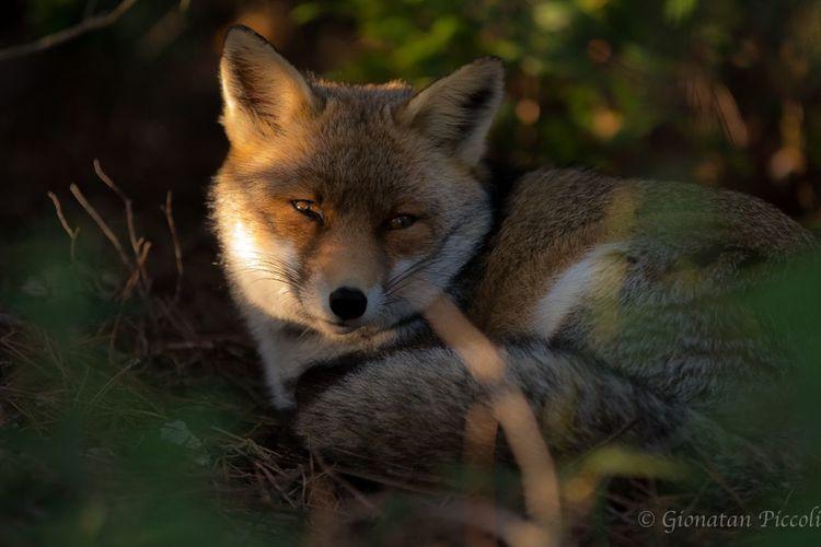 La dolcezza di una piccola volpe nel suo ambiente naturale, il rispetto reciproco ha permesso questo splendido scatto
