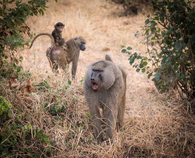 Baboons Standing On Field