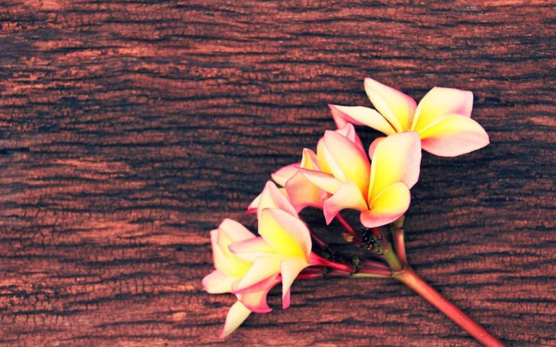 Bangkok Thailand. Thailand Photos Wood Backgrounds Beauty In Nature Close-up Day Flower Flower Head Fragility Freshness Indoors  Nature No People Petal Plumeria Blossoms Plumeria Flowers Sweet Food Table Thailand_allshots Wood - Material Woodtexture Yellow
