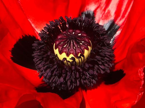 Poppy flower Beauty In Nature Black Color Close-up Flower Flower Head Flowering Plant Fragility Freshness Growth Indoors  Inflorescence Nature No People Petal Plant Pollen Red Softness Vulnerability  Yellow