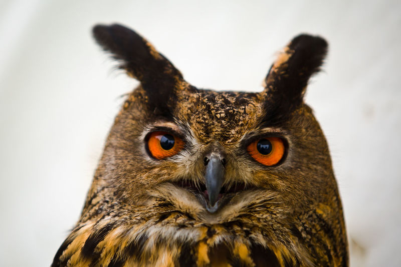 Eurasian Eagle Owl  Eurasian Eagle-owl Falconry Feathers Owl Portrait. Animal Body Part Animal Eye Animal Wildlife Bird Bird Of Prey Bubo Bubo Close-up Eagle-owl Eagleowl Ear Tufts Ears Falconry Display Large Eyes Looking At Camera No People One Animal Owl Owl Eyes Owls Portrait