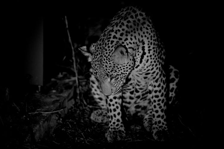 Leopard in the Wild at Night Wildlife Leopards Leopards Are Nocturnal Leopards Are Dangerous Big Cats Leopard Wild Animal Wild Animal Photography Wild Animals Up Close Wild Animals, Animals, Wildlife, Zoo, Preserve, Open-range, Habitat, Elephants, Folwers, Flamingos, Exotic Birds, Water, Ponds, San Diego, California, In The Wild In The Wilderness African Safari Africa South Africa Kruger National Park, South Africa Krüger National Park  Big Cat Big Cats Wildcats Wildcatspoto Danger Hunting Animals In The Wild African Safari Animals Safari