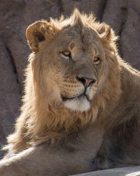 Back Lit Lion Big Cats EyeEm Selects Lion - Feline One Animal Animal Wildlife Animal Themes No People Close-up Outdoors Day