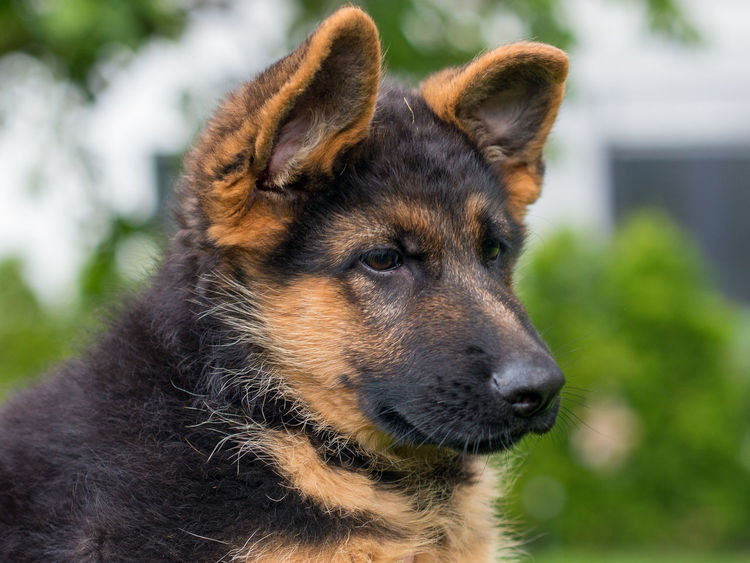 Animal Themes Close-up Day Dog Domestic Animals German Shepherd Mammal Nature No People One Animal Outdoors Pets Schäferhund Welpe