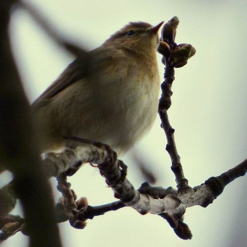 Still singing in the Trees despite the miserable weather Chiffchaff Rspbpulborough Nature Photography Uknaturecollective Nature Wild Followme Ig_birdlovers Ig_birdwatchers Nuts_about_birds Wildlife Nature England Rsa_nature Ukwildlifeimages Springwatch Naturehippys