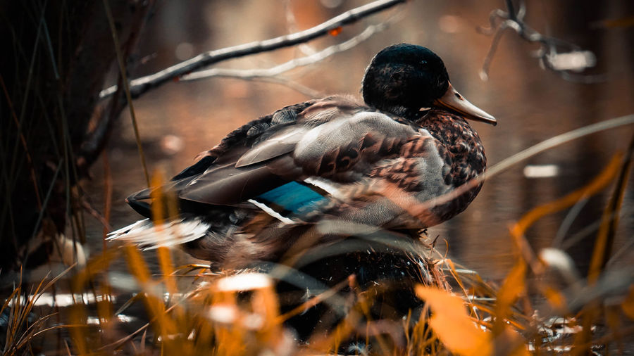 Close-up of a duck in a water