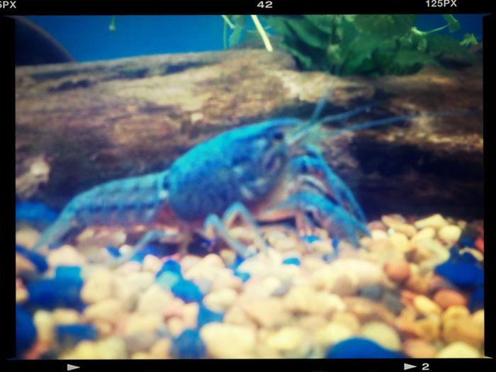 My crayfish