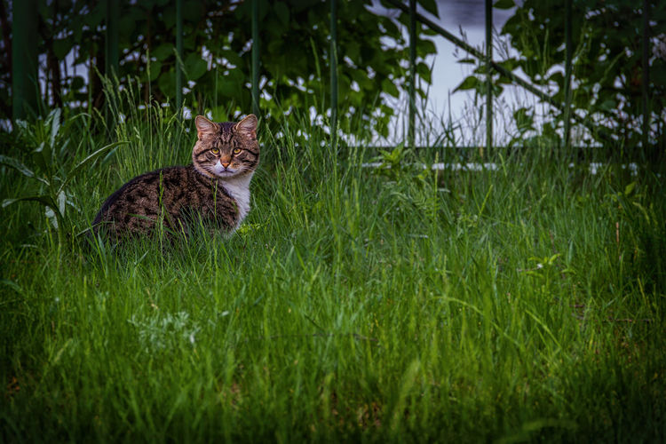 Cat in the grass Animal Themes Animal Wildlife Animals In The Wild Cat Feline Field Grass Green Color Growth Mammal Nature No People One Animal Outdoors Plant Tree