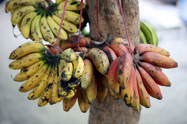Bunch of banana attached on strings hanging on tree trunk