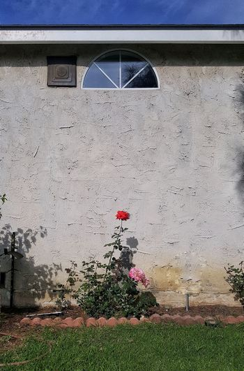 all it takes is one Rose🌹 Red Arch Window Stucco Shadow Sunlight Red Architecture Grass Building Exterior Sky Built Structure Blooming Flower Head Petal Growing In Bloom Stamen