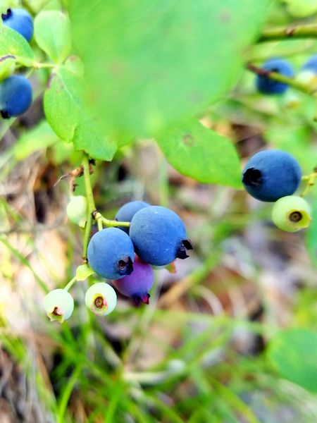 Hiking. Plant Fruit Nature Outdoors Close-up No People Leaf Growth Day Beauty In Nature Freshness Wild Blueberries Blueberries EyeEm Selects