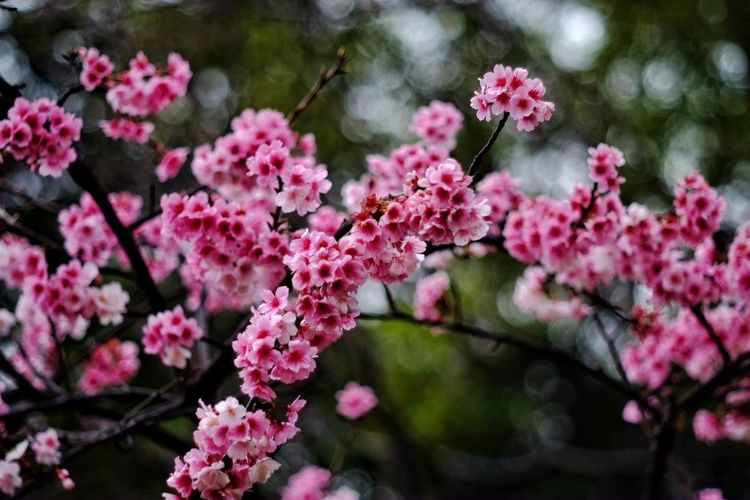 Flower Flower Head Branch Tree Pink Color Springtime Blossom Rhododendron Close-up Plant Apple Blossom Cherry Tree In Bloom Cherry Blossom Twig Pale Pink Flowering Plant Stamen Plant Life Fruit Tree Hibiscus Plum Blossom Apple Tree Pollen Crocus Day Lily Blooming Petal Orchard Pistil