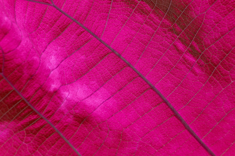 Macro shot. Closeup texture pink leaf in nature. Backgrounds Full Frame Textile Pink Color Pattern No People Textured  Close-up Material Fragility Softness Red Vulnerability  Abstract Purple Magenta Indoors  Nature Extreme Close-up Abstract Backgrounds