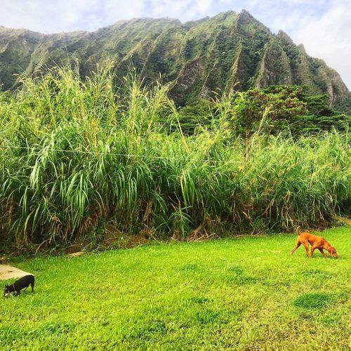 Islandlife Roxyvizsla Vizsla Koaminpin Hawaiishots