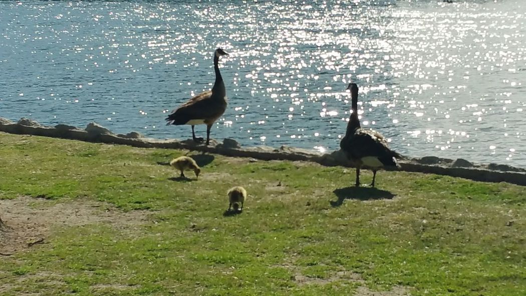 Geese Family Baby Geese Geese Echo Park Lake Echo Park  Los Angeles, California Southern California