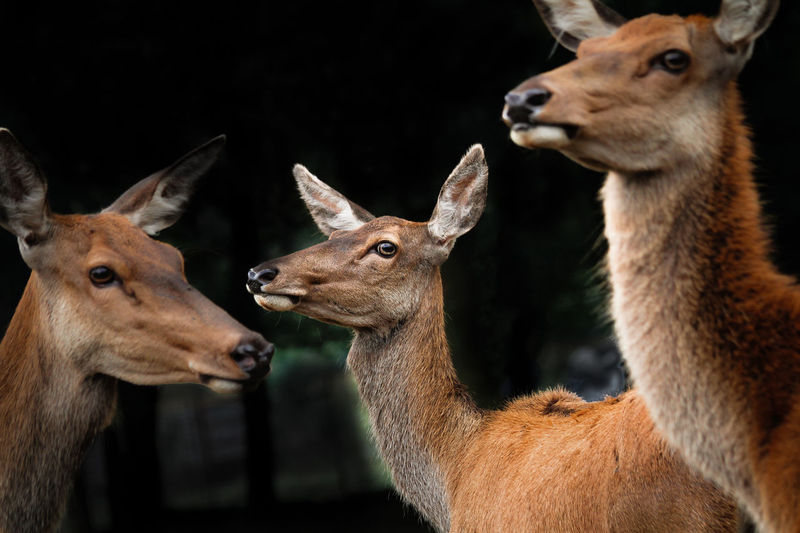 Animal Themes Animal Wildlife Animals In The Wild Close-up Day Deer Mammal Nature No People Outdoors Three Deer Togetherness