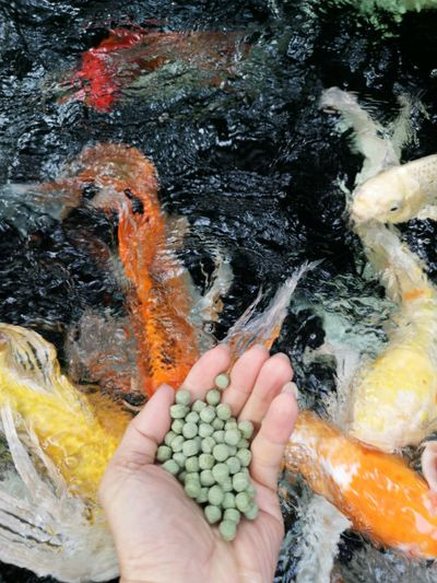 Cropped hand feeding fishes in sea