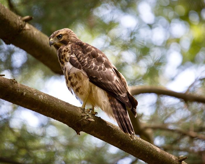 Hawk Animal Wildlife Animals In The Wild Bird Tree Perching One Animal Low Angle View Nature Bird Of Prey No People