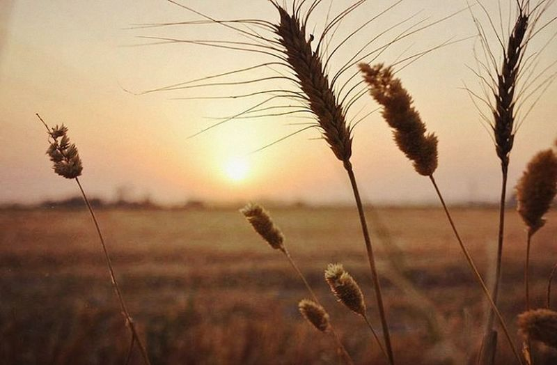 Agriculture Beauty In Nature Cereal Plant Close-up Day Field Growth Nature Outdoors Plant Sky Sunset Tranquility Wheat