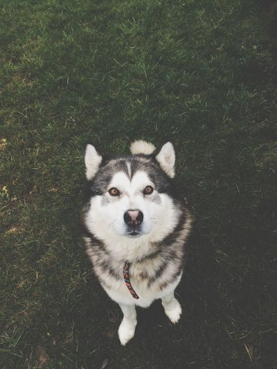 High Angle View Portrait Of Siberian Husky Standing On Field