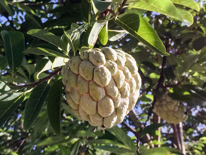 Fresh Produce Sugar Apple Annona Squamosa Custard Apple Sugarapple Sweetsop Leaf Plant Part Growth Plant Healthy Eating Food Food And Drink Tree No People Freshness Fruit Green Color Day Nature Low Angle View Focus On Foreground Close-up