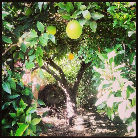 madurando las naranjas..solo falta el frio!! EyeEmNatureLover#flower#Nature_collection Filippa K Asks: What Inspires You? TreePorn Huerta