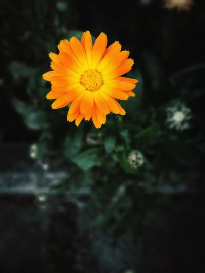 Nature Orange Flower Head Flower Black Background Yellow Closing Sunset Summer Petal Beauty Plant Part