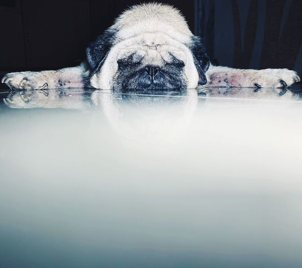 Pug Sleeping Pug Animal Dog Indoors  Reflection Nature Copy Space Water Close-up Motion No People Day Surface Level