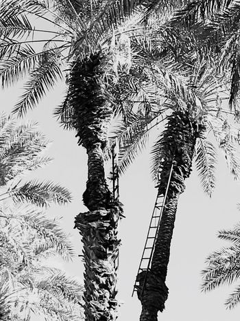 Date Palming Tree Nature No People Growth Palm Tree Low Angle View Outdoors Day Sky Scenics Branch Beauty In Nature Date Palms Blackandwhite Photography Tranquility Date Farming Ladders
