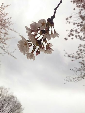 cherry blooming in cloudy sky 曇天の桜 不安の中の希望 Beautiful Nature Tokyo Days Japan Scenery Cherryblossom Sky Mobilephoto Noedit #nofilter Andrography