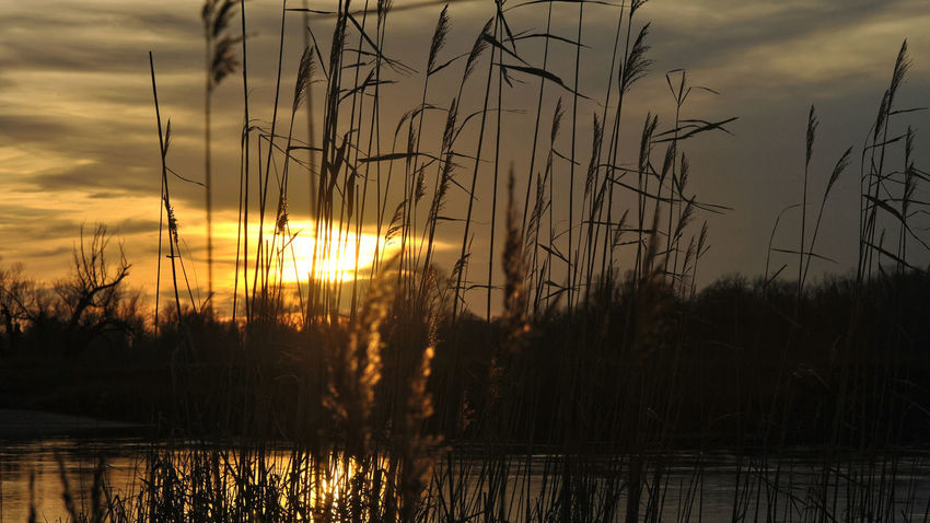 Autumn sun Autumn Phragmites Australis River View Sunset_collection Beauty In Nature Cane Close-up Cloud - Sky Day Grass Growth Lake Nature No People Outdoors Phragmites Plant Reed Scenics Silhouette Sky Sunset Tranquil Scene Tranquility Water