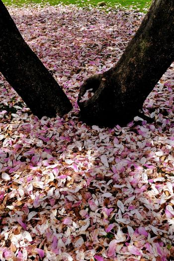 High angle view of pink cherry blossoms