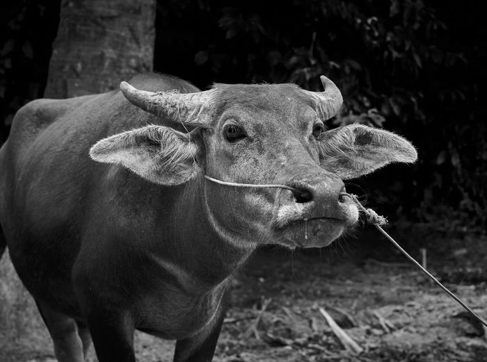 Cambodian Buffalo Animals In The Wild Black & White Buffalo Bull Cambodia Cambodian Buffalo EyeEm Best Shots EyeEm Nature Lover EyeEmNewHere Travel Animal Animal Black And White Animal Themes Animal Wildlife Black And White Black And White Animal Photography Blackandwhite Cow Farm Animal Mammal Nature No People One Animal Outdoors Travel Destinations