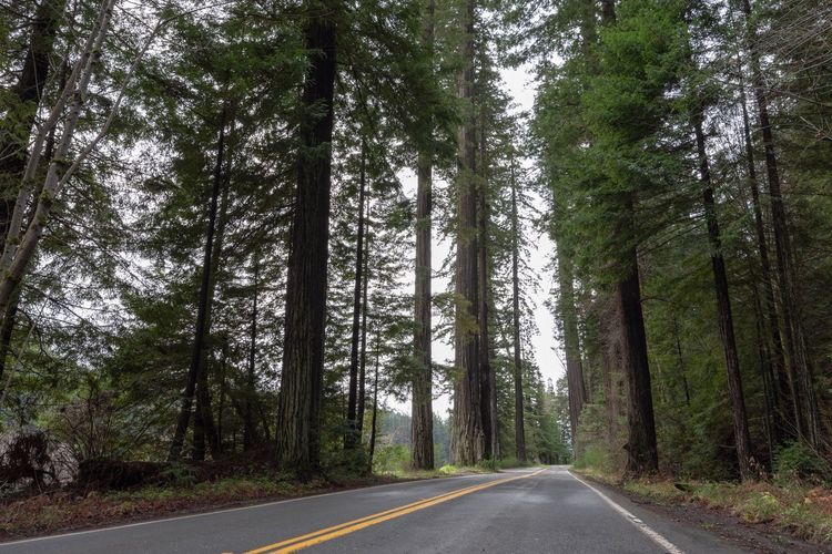 Landscape of road leading through redwood trees on the Avenue of the Giants in California Redwood Trees Redwoods Avenue Of The Giants California Green Color Tree Road Plant Transportation The Way Forward Nature Day Direction No People Tree Trunk Trunk Empty Road Growth Tranquility Tranquil Scene Land Diminishing Perspective Non-urban Scene Beauty In Nature Forest