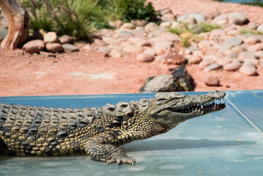 happy crocodile Water Reptile Alligator Crocodile Portrait Animal Scale Close-up Swamp Animal Teeth Teeth Animal Mouth Animal Skin Animal Nose Mouth Animals Hunting Wetland