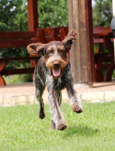 Portrait of dog running in field