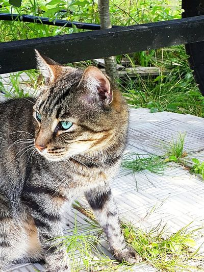 Animal Themes One Animal Mammal No People Day Outdoors Portrait Grass Domestic Animals Nature Close-up Cats Tourquise Eyes