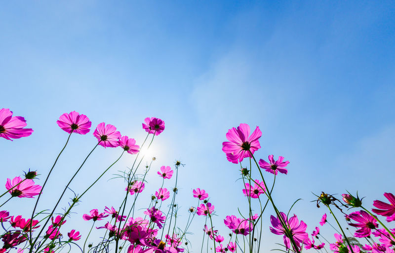 Low angle view of pink flowering plants against blue sky