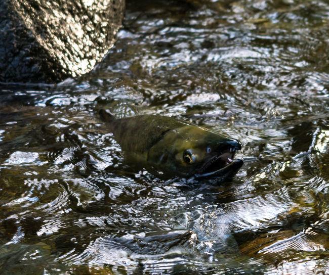 #beautifulbc #roughwat #salmoncominghometospawn #supernaturalBC Animal Themes Animals In The Wild Beauty In Nature Day Lake Mammal Nature No People One Animal Outdoors Swimming Water