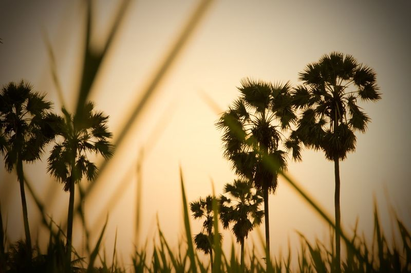 tree palm in evening beautiful. EyeEm Selects Tree Palm Tree Nature Outdoors Growth Beauty In Nature No People Rural Scene Silhouette Day Sunlight Sky Grass Summer Plant Shadow Sunset Landscape