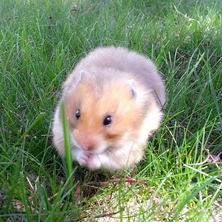 Nikki, my little near-sphere Hamster Sphere Spherical My Hamster Cute Animals Cute Pets Round Pet Photography  Pet Love Pets Syrian Hamster  Fuzzy My Fuzzy Buddy Things I Like