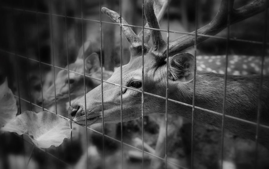 Live For The Story Animal Themes Cage One Animal No People Selective Focus Mammal Focus On Foreground Close-up Day Animals In The Wild Domestic Animals Nature Outdoors Bird 2014年8月漳平郑君摄 2014 2014 In 365 Photos Sika Deer 漳平九鹏溪 20140802