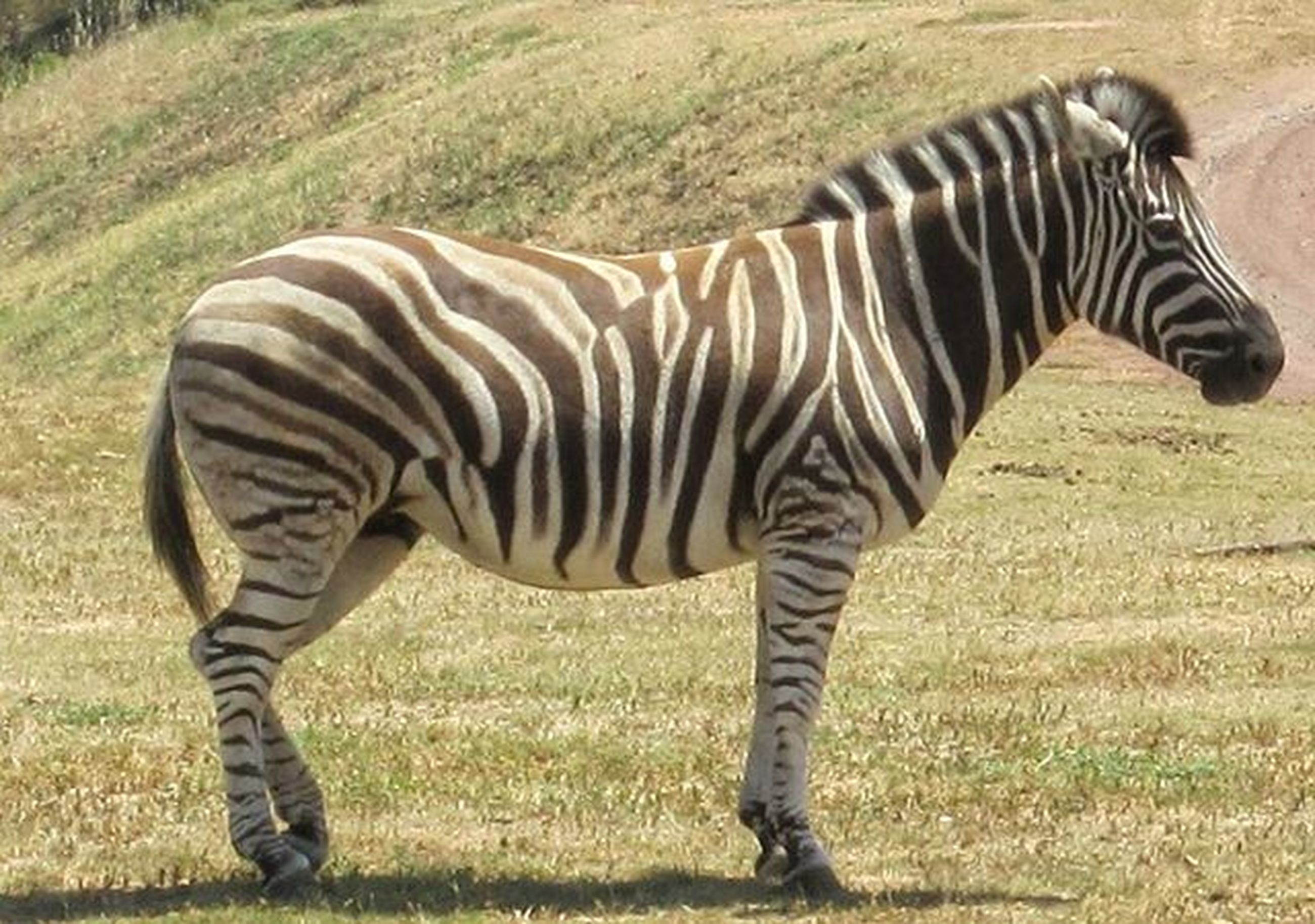 animal themes, zebra, field, grass, striped, mammal, standing, one animal, safari animals, animals in the wild, herbivorous, wildlife, side view, grazing, full length, grassy, animal markings, two animals, nature, landscape