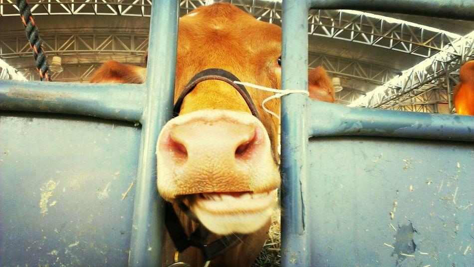 Moo. Fair Cow Animals Eye For Photography