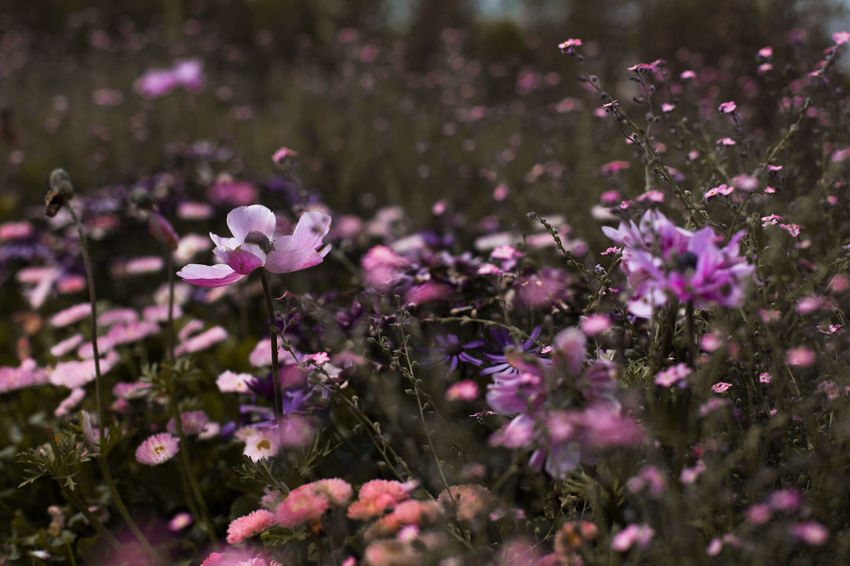 florals Beauty In Nature Close-up Day Flower Flower Head Flowering Plant Fragility Freshness Growth Inflorescence Land Nature No People Outdoors Petal Pink Color Plant Purple Selective Focus Vulnerability