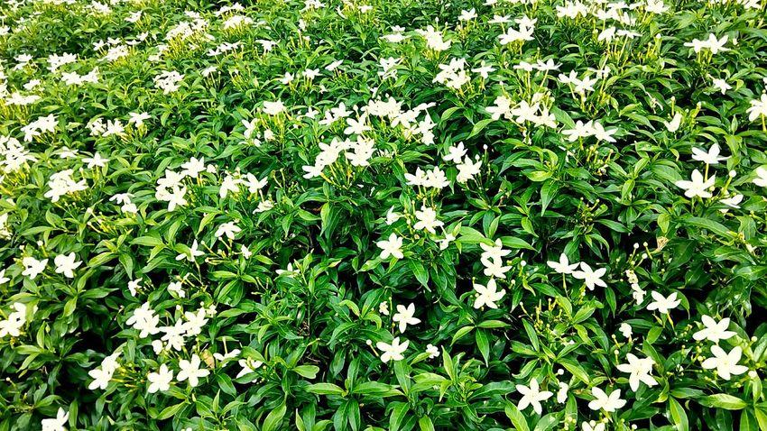 Flower Leaf And Flower Flower In The Garden Beauty Of Nature Beauty Of Flowers Nature And Flowers Nature Nature Photography Flower Photography Flower Garden ใน Thailand