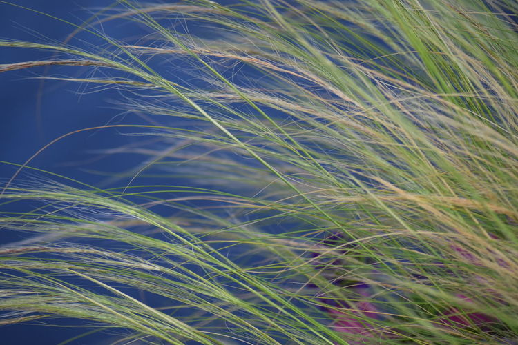 Backgrounds Beauty In Nature Blue Close-up Day Ear Of Wheat Full Frame Grass Green Color Growth Nature No People Outdoors Plant