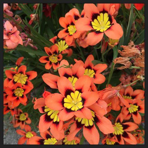 Alittle physcodelic 🌼💙🌼 Orange Flowers Flower Flowers Flowerbush Garden Phycodelic Tranquility Nature Beautiful