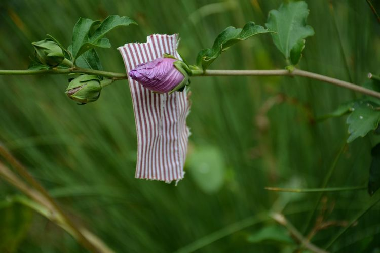 Close-up of flower bud and matching striped fabric swatch and flower bud